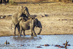African bush elephants mating in Kruger National park Royalty Free Stock Photos