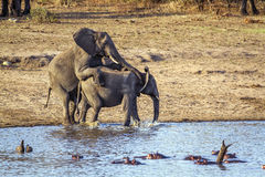 African bush elephants mating in Kruger National park Stock Photos
