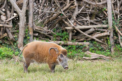 African bush pig eating grass Royalty Free Stock Image