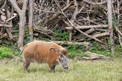 African bush pig eating grass Royalty Free Stock Image
