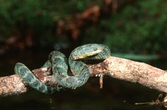African bush viper Royalty Free Stock Photo