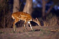 African Bushbuck Antelope Royalty Free Stock Image