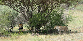 African bushveld with lions, Namibia. African bushveld with couple of an adult lions in the bush, Namibia. Africa Stock Photos