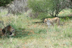 African bushveld with lions, Namibia. African bushveld with couple of an adult lions in the bush, Namibia. Africa Royalty Free Stock Images