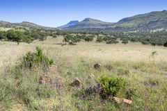 African bushveld with mountain ridge on a hot summer`s day - Hot. Blue sky and springbok in the shade Royalty Free Stock Photos