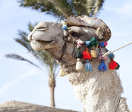 African camel Stock Images