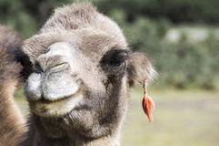 African Camel, dromedary portraint with earring in de desert, sahara of africa(C. dromedarius). also called the Arabian camel Royalty Free Stock Photography