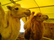 Camels at a zoo. Beautiful animal. royalty free stock photography