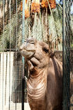 African camel head in the zoo Stock Images
