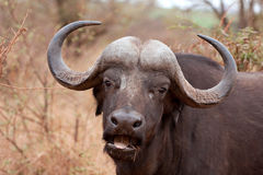 African cape buffalo Royalty Free Stock Photography