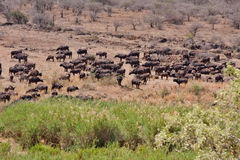 African cape buffalo Royalty Free Stock Image