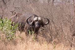 African cape buffalo Stock Images