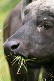 African Cape Buffalo Stock Photos