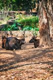 African or Cape buffalo, Bison Bison bison in Trivandrum, Thiruvananthapuram Zoo Kerala India. African or Cape buffalo, Bison (Bison bison) resting lying on the Royalty Free Stock Photos