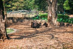 African or Cape buffalo, Bison Bison bison in Trivandrum, Thiruvananthapuram Zoo Kerala India. African or Cape buffalo, Bison (Bison bison) resting lying on the Royalty Free Stock Image