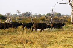 African Cape Buffalo Royalty Free Stock Images