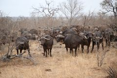 African cape buffalo herd in Kruger National Park, South Africa royalty free stock image