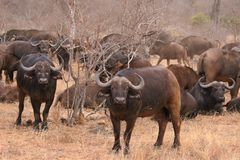 African cape buffalo herd in Kruger National Park, South Africa stock photos
