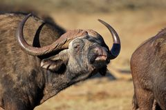 African (Cape) buffalo portrait Royalty Free Stock Image