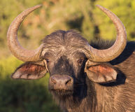 African Cape Buffalo royalty free stock photo