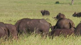 Cape buffalo grazing. African cape buffalos close up in the great annual migration of Serengeti National Park of Tanzania in Africa. Closeup of African buffalo stock video