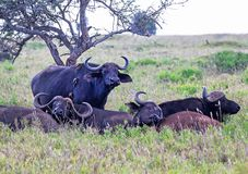 African or cape buffals are on a open grass plain. Africa`s big 5 five animals. Red-billed oxpeckers are on the buffalo Kenya,A. African or cape buffals are on a stock photo
