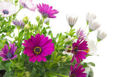 African or Cape daisy (Osteospermum)  plants Royalty Free Stock Image