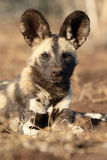 African cape hunting dog, Lycaon pictus Stock Images