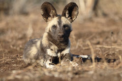 African cape hunting dog, Lycaon pictus Royalty Free Stock Photo