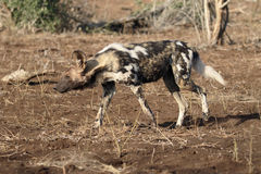 African cape hunting dog, Lycaon pictus Stock Photo