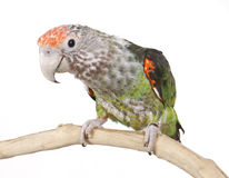 African Cape Parrot Stock Image