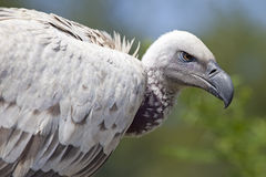 African Cape vulture. (Gyps coprotheres Stock Image