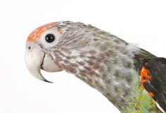 African Caped Parrot Perched Stock Image