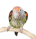 African Caped Parrot Perched Royalty Free Stock Image