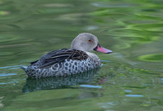 African caped teal. Male African caped teal swimming in green water royalty free stock image