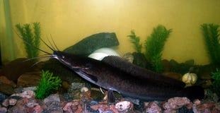 African catfish in the aquarium Stock Photography