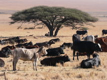African Cattel. African cattle gathered around Acacia tree in South African savannah stock images