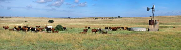African cattle farm panorama. A cattle farm panorama. Free State South Africa stock photo