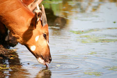 African cattle. Head and shoulders of African cattle drinking from a pool of water Stock Photography