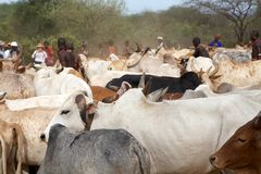 African cattle Royalty Free Stock Image