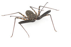 African Cave Spider. (Neoleptoneta myopica) on white background Royalty Free Stock Photography