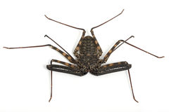 African Cave Spider. (Neoleptoneta myopica) on white background Stock Photography