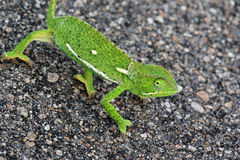 The African chameleon goes on asphalt road, Kruger national Park, Royalty Free Stock Photography