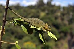 African Chameleon Stock Image