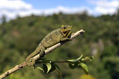African Chameleon. In the Samburu National Park. Kenya Royalty Free Stock Photos