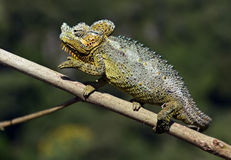 African Chameleon Royalty Free Stock Photography
