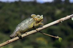 African Chameleon Stock Photos