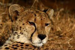 African Cheetah. Fastest cat on earth but relaxing in the sun Royalty Free Stock Photos
