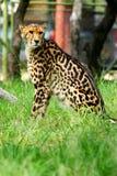 African Cheetah Royalty Free Stock Photo