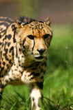 African Cheetah royalty free stock photos